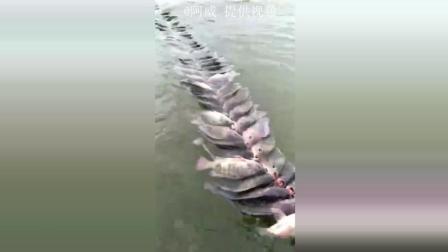 钓鱼: 一根绳拉出一长串大罗非, 起码上百斤