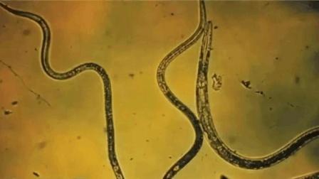 """西伯利亚冰封3万年线虫被""""叫醒"""", 专家: 潜在危害难以评估"""