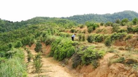 山上几十亩土地 种植了一千多棵油茶树 农民正在给茶树除草