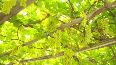 吐鲁番葡萄沟, 葡萄成熟的季节, 葡萄干晾晒的过程