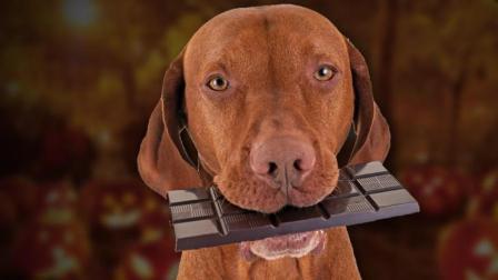 为什么巧克力会害死狗?