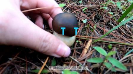 云南采蘑菇之旅#VLOG#——采蘑菇的小五歌, 带着一个四蛋蛋~