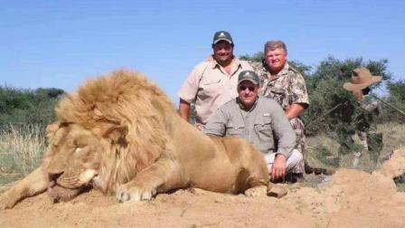 野生狮子吃了人, 谁还敢去非洲旅游