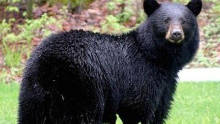 挑衅东北虎的下场! 黑熊被追杀到树上直打哆嗦