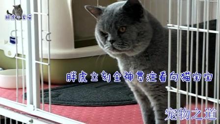 公猫远远张望猫宝宝, 母猫出现立刻怂了, 公猫: 军功章也有我一半