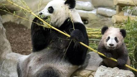 旅法熊猫圆梦一岁啦, 上千法国粉丝共庆生, 动物园送上三层水果蛋糕