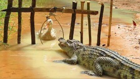 鳄鱼吓唬鸭子, 没想到鸭子还是影帝一枚, 结局看一次笑一次