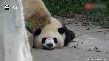 大熊猫趴在门口交通要道上, 被路过的小伙伴们踩得呲牙咧嘴, 都不肯挪一下