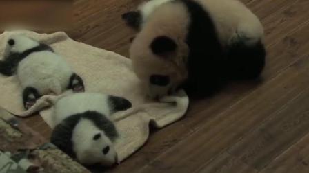 好暖! 大熊猫宝宝为弟弟妹妹们盖被子