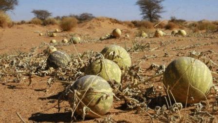 在沙漠看到这种西瓜千万不要摘, 有人不听劝, 拿起一看就后悔了!