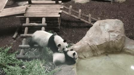 大熊猫妈妈看见宝宝在喝洗澡池的水, 赶紧过去把它叼走