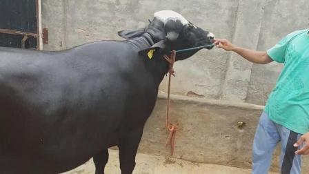 17个月大的一头牛
