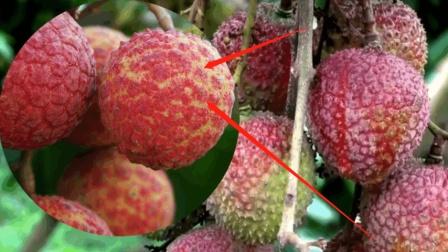 世界上最贵的水果, 一颗就要1.2万, 你敢吃几颗?