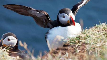 《动物传奇》角嘴海雀辛苦扑捉喂食有在的美食被海鸥抢劫