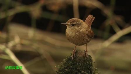 自然记录之鸟类-冬鹪鹩