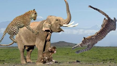 大象暖心的一刻, 赶走豹子从而救了小猴子