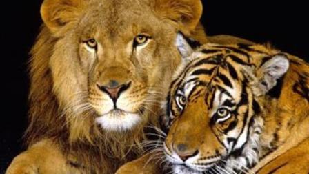 动物世界狮子报仇, 大战老虎
