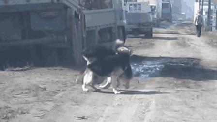阿拉斯加犬打架凶狠, 其实完全不输藏獒