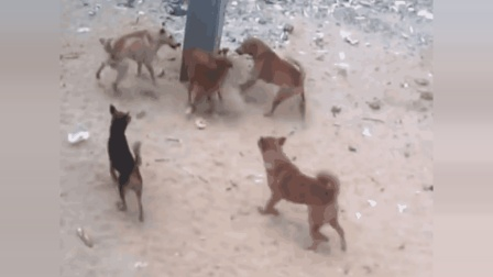 狗狗挑衅大哥, 被狗群围攻