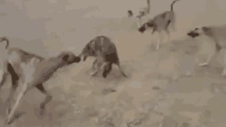 一群猎犬竟难以攻破一只独狼, 狼不愧是狼