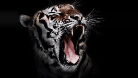 一只老虎有几颗牙我不知道, 但是我见过真正的虎口拔牙
