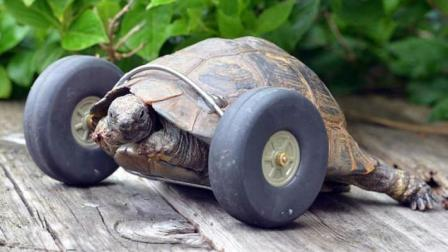 乌龟装上轮子后, 比以前还要快, 完全停不下来