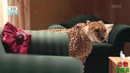 家里养个猎豹当宠物 真担心晚上睡着 被当猴子吃了