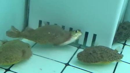 河豚: 食人鱼很了不起吗?