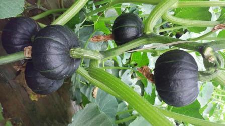 菜农种植贝贝绿小南瓜, 生长环境及口感简单介绍