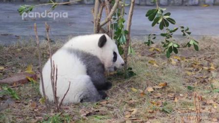 大熊貓: 看小鳥吃蟲子, 發現一只懵懵的熊貓!
