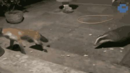 狐狸偷吃平头哥的食物, 几招就被制服