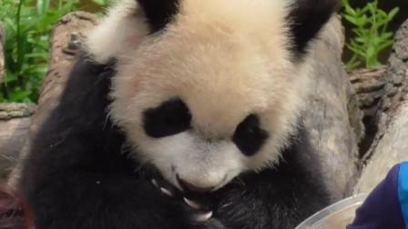 超懒的大熊猫宝宝, 蜂蜜都诱惑不了它走, 最后还得奶妈抱回去