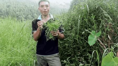农村常见的白花蛇舌草, 有治疗各种癌肿的功效, 它的药用价值很高, 你认识吗