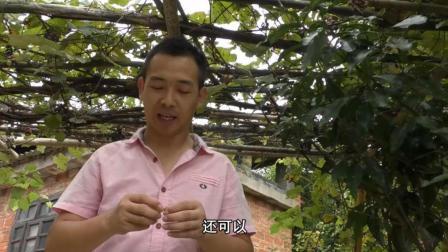 在农村, 不打农药的葡萄是这样的, 不过还挺好吃