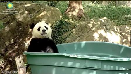大熊猫爬进超大盆里面泡澡