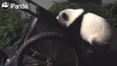 成精了! 大熊猫宝宝自己爬上手推车, 让奶妈推着去兜风