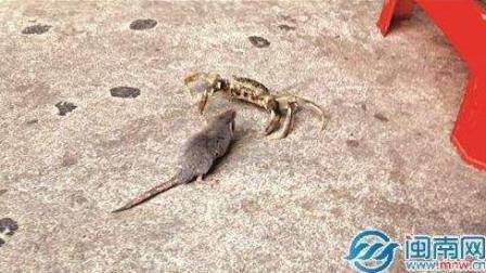 螃蟹大战老鼠