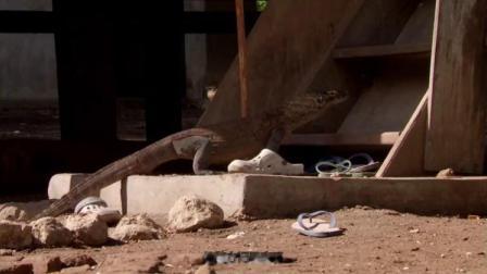 科莫多巨蜥会溜进附近的村子,吃鸡吃羊,令小