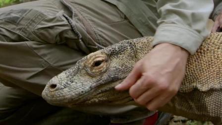 实拍从科莫多巨蜥嘴里取毒液,2个大汉按住蜥蜴