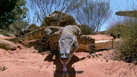 小伙近距离介绍树巨蜥,真替它捏把汗!