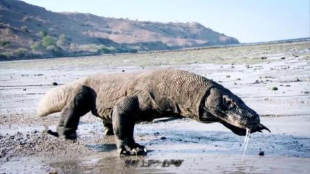 实拍地球上最大的蜥蜴,一百多年前才被发现,