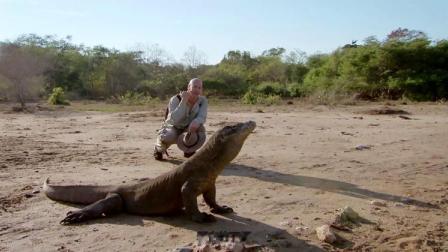 原来科莫多巨蜥是这样捕猎的,成为它们的猎物