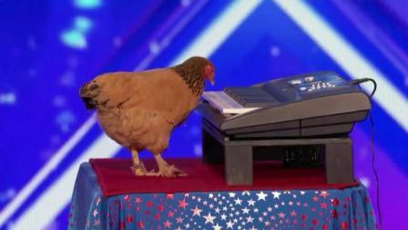 国外一只鸡上综艺节目弹钢琴, 评委们一脸的难以置信