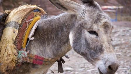 马和驴杂交出来的后代到底是什么?