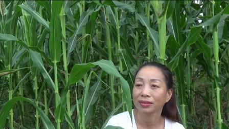 邓丽君淡淡忧情演唱的《几多愁》, 村姑笑笑也不笑了