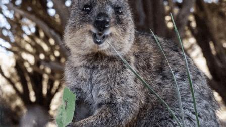 世界上最爱笑的动物, 长的又乖又萌, 看到它心情就会变好!