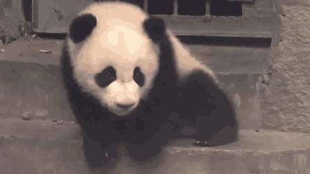 熊猫宝宝被奶爸遗忘, 留在门口一直徘徊, 委屈样子看着心疼