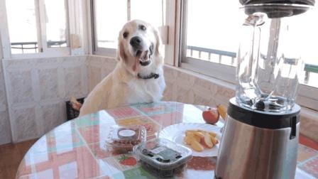 贪吃的金毛狗狗, 还会自己开冰箱鼓捣吃的啦! 真是贪吃成精了啊