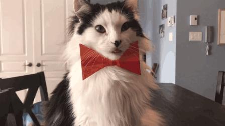 主人给猫咪制作了一个假领结, 猫咪很满意, 又可以去撩妹咯!