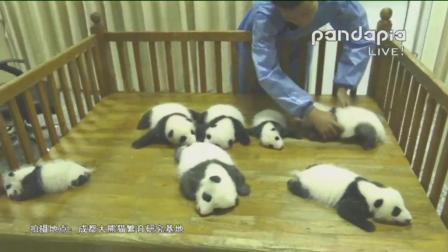 当大熊猫宝宝遇到强迫症的奶爸